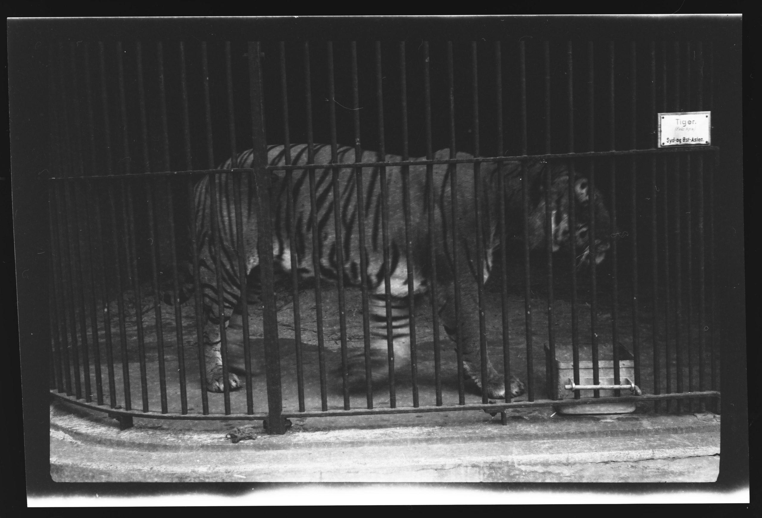 Tiger i bur.